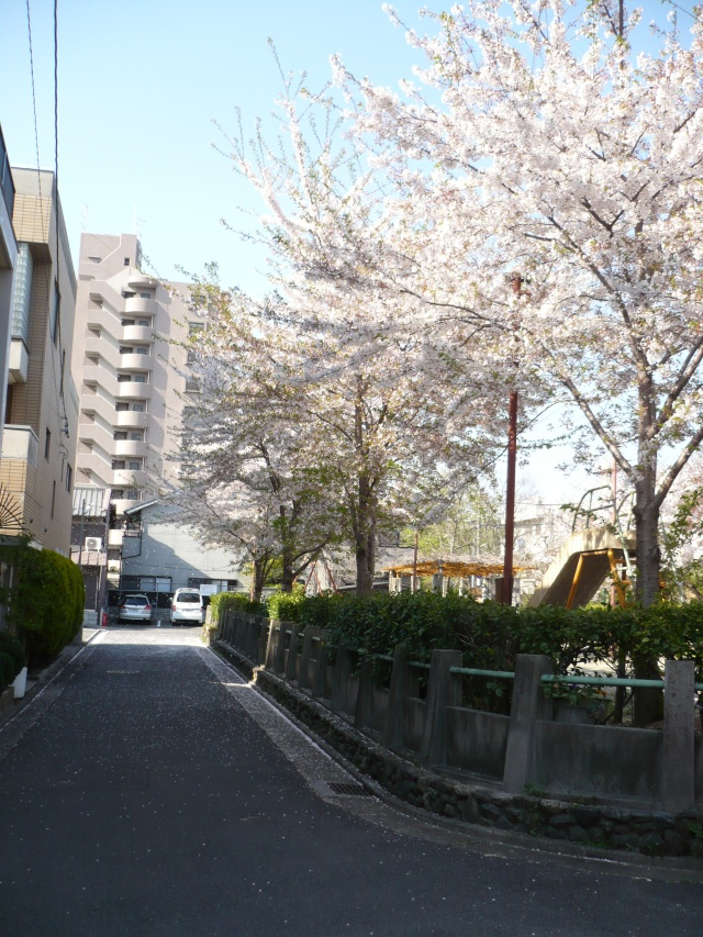 Cherry Blossoms line a Kyoto street