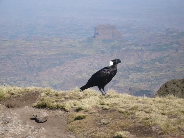 Strange billed black bird in the Simiens