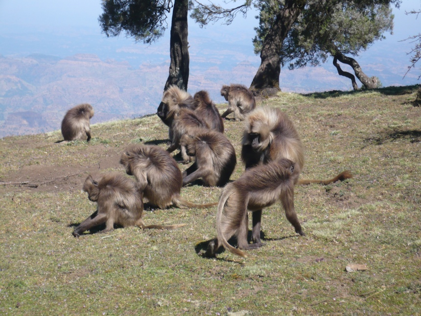 Gelada Baboons on the last day