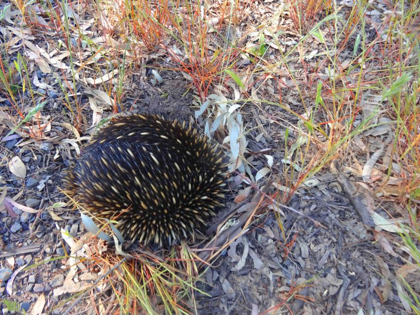 My pics of the second echidna were not so good. He burrowed his head into the ground and hid!