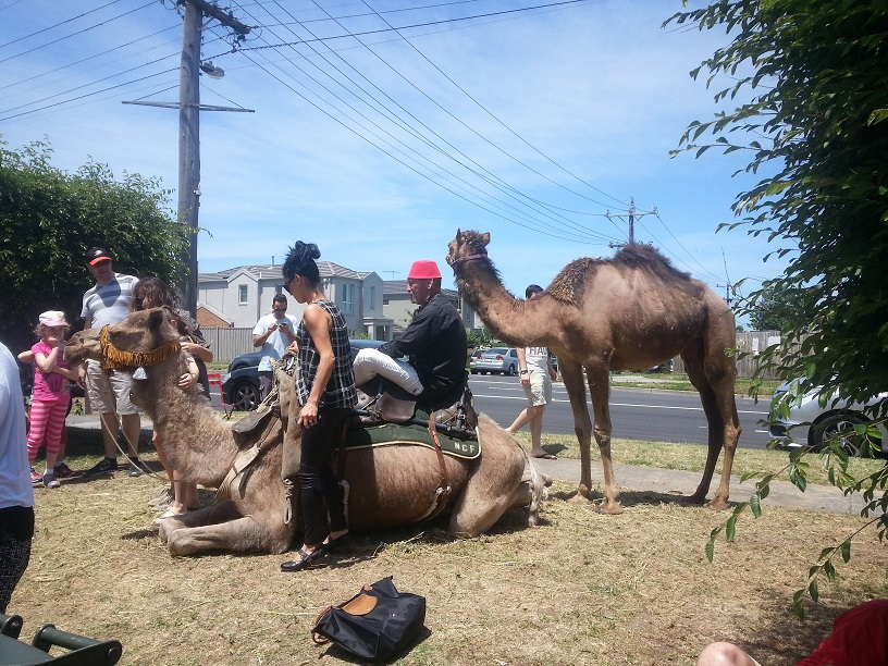 A camel on the nature strip outside Oasis for the festival.