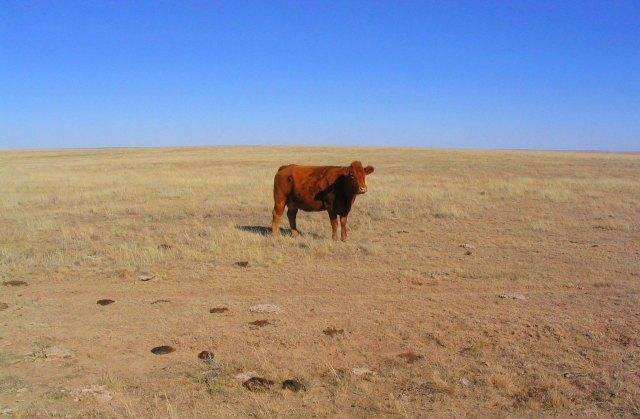 colorado cow