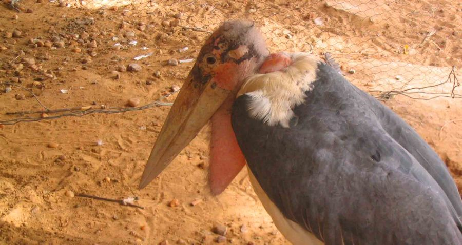 A sad looking vulture in the Niamey 'zoo'.