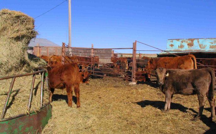 Cows on a Colorado Ranch!