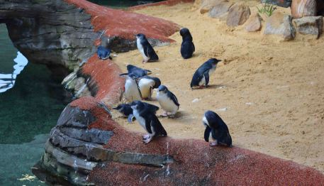 Penguins at Manly.