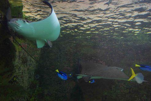 Rays at the Aquarium.