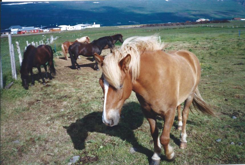 Horses near Akureryi.