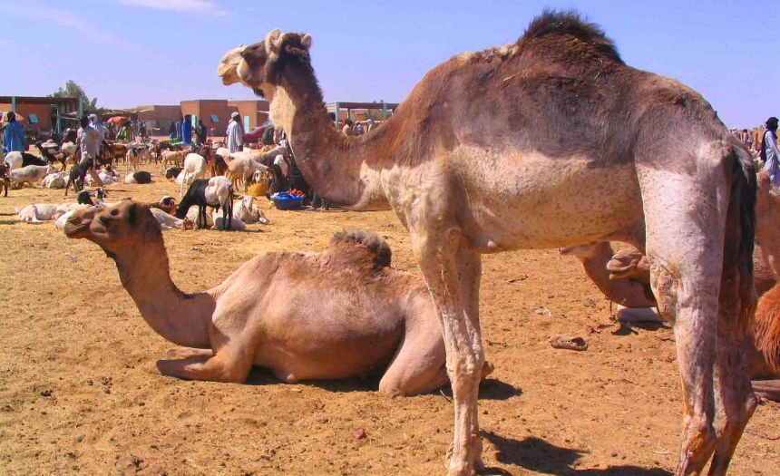 Would you like to buy a camel?