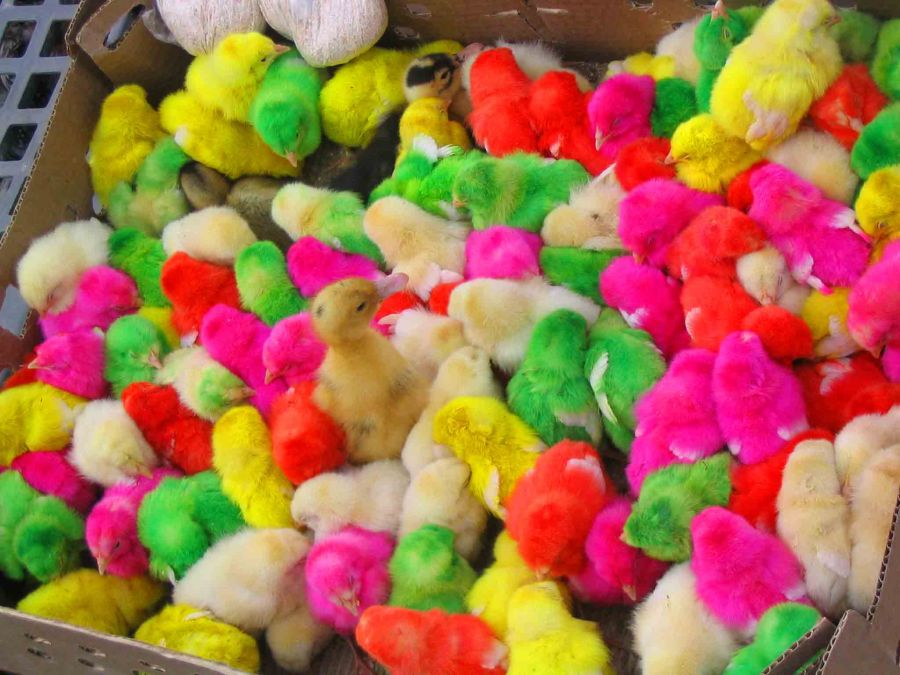Chicks dyed all sorts of colours for sale in a market in Kerman.