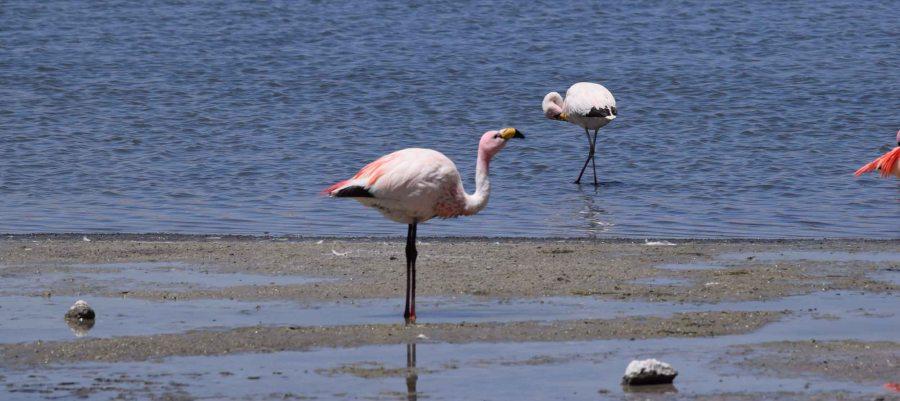 flamingo-salar-de-uyuni