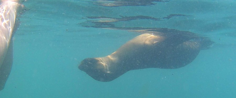 Swimming with a sealion, San Cristobel Island, Galapagos.