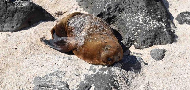 sleeping-sea-lion