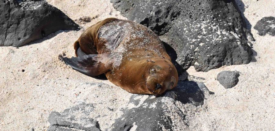 sleeping-sea-lion