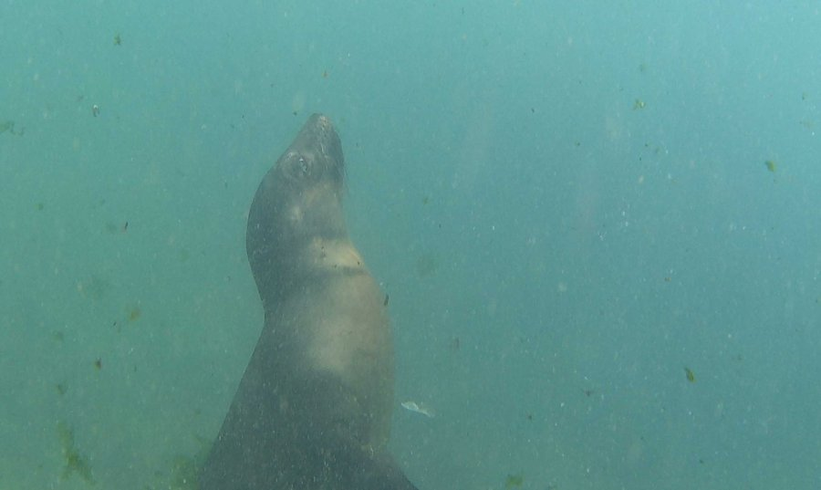 underwater-sea-lion-san-cristobel